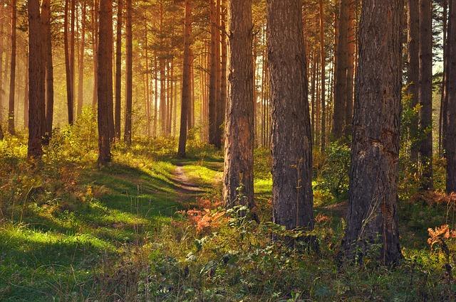 smrkový les.jpg